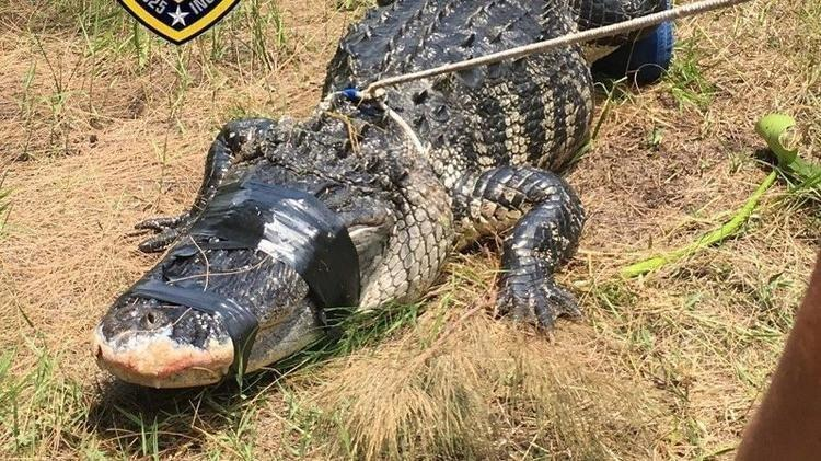Florida Police Find Missing Woman's Arm In Captured Alligator