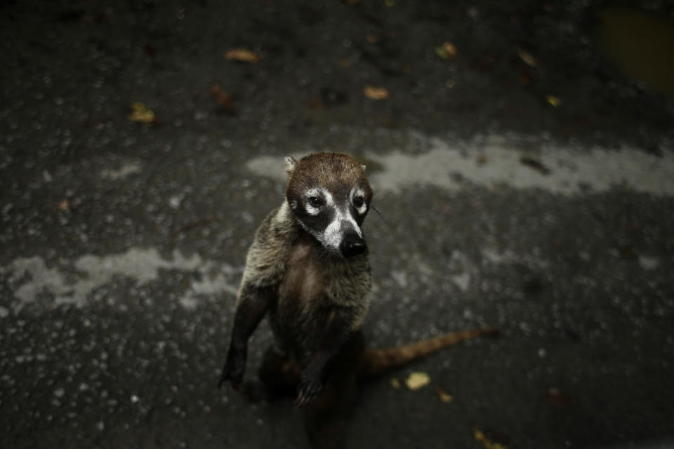 A Coati, a diurnal mammal native to South America, Central America, Mexico, and the southwestern United States, stands on the side of a road after biologist Claudio Monteza installed a set of camera traps in the dense tropical rainforest in San Lorenzo, Panama, Tuesday, April 6, 2021. Monteza has shifted his research to accommodate the COVID-19 pandemic restrictions and has been taking his doctoral classes virtually. (AP Photo/Arnulfo Franco)