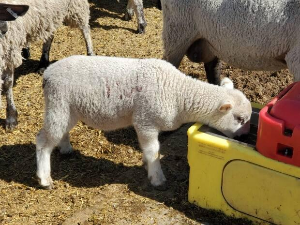 Ray Nolan, who owns Lambtastic Farms in Vulcan, Alta, says producers are happy to getting a good price for the animals.