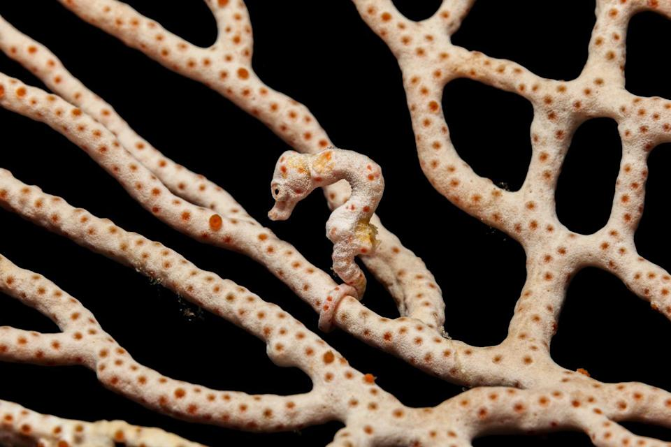 """<p>Fishes of Australia says that Hippocampus Denise is a<a href=""""https://fishesofaustralia.net.au/home/species/4772"""" rel=""""nofollow noopener"""" target=""""_blank"""" data-ylk=""""slk:master at camouflage"""" class=""""link rapid-noclick-resp""""> master at camouflage</a>, which at less than inch, makes these sea-dwellers even harder to spot in the wild. Like other seahorses, the males of this species also brood their eggs. </p>"""