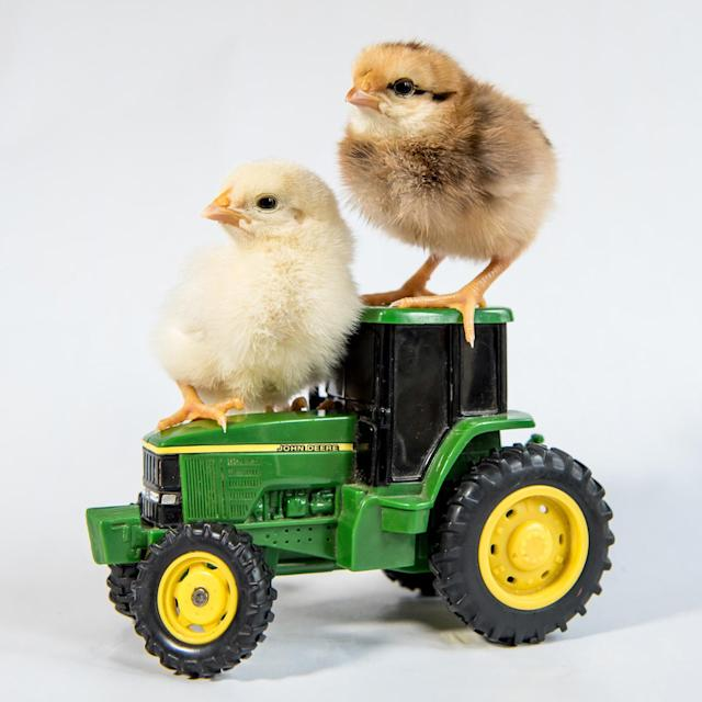 <p>A couple of chicks sit on a John Deer tractor. (Photos: Alexandra C. Daley-Clark/sillychickens.com) </p>