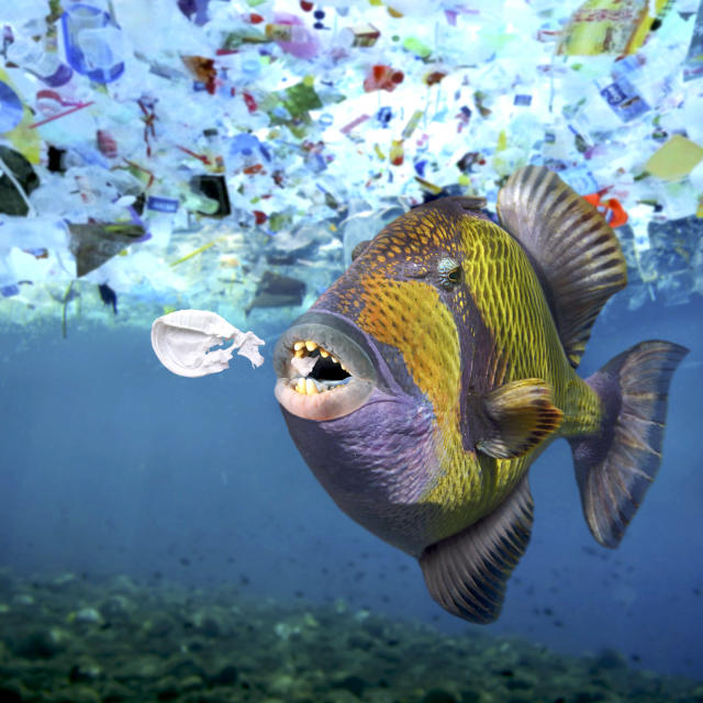 <p>A titan triggerfish, Balistoides viridescens, eats a plastic object. A lot of sea animals ingest plastic garbage because they think its edible food. (Photo: Paulo Di Oliviera/ARDEA/Caters News) </p>