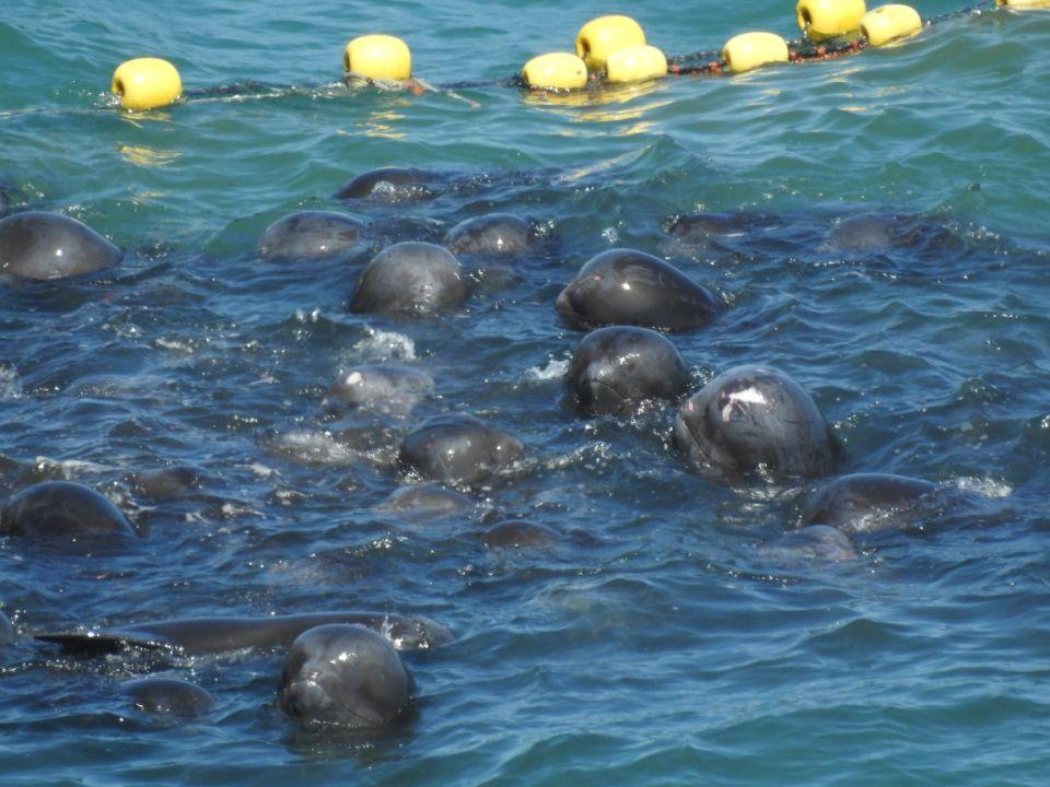 A group of melon-headed whales clumped together in the ocean.