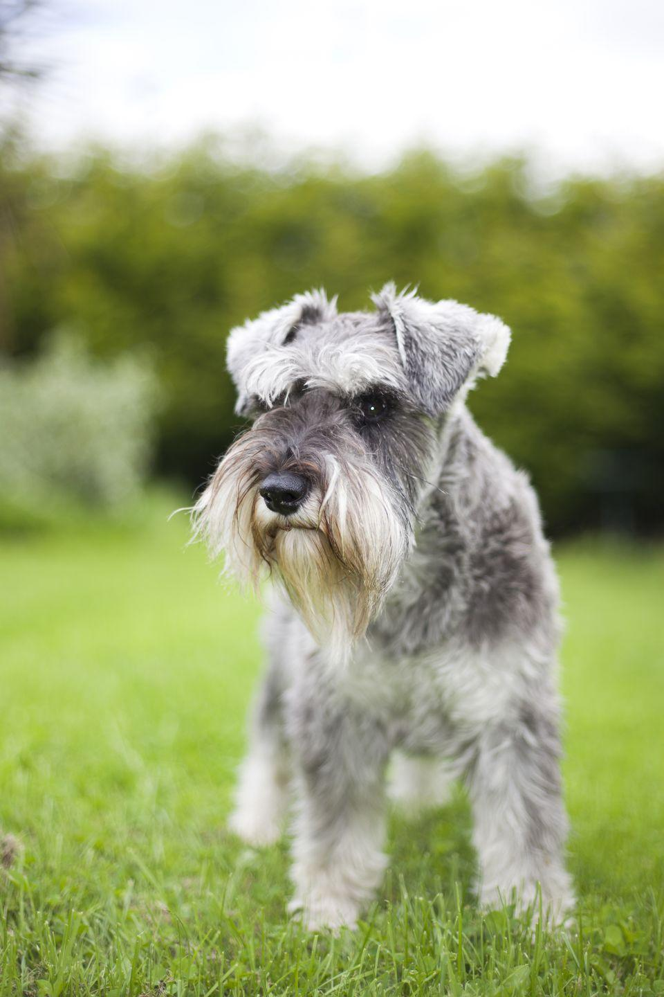 """<p>The most <a href=""""https://www.goodhousekeeping.com/life/pets/g26814415/popular-dog-breeds-vintage/?slide=6"""" rel=""""nofollow noopener"""" target=""""_blank"""" data-ylk=""""slk:popular Schnauzer breed"""" class=""""link rapid-noclick-resp"""">popular Schnauzer breed</a> on the market, these astute watchdogs are like a pocket option for Schnauzer fans. They have the same serious expression as their larger counterparts, but in a smaller package. These fearless companions shed minimally and love <a href=""""https://www.goodhousekeeping.com/life/pets/g5109/interactive-dog-toys/"""" rel=""""nofollow noopener"""" target=""""_blank"""" data-ylk=""""slk:lots of playtime"""" class=""""link rapid-noclick-resp"""">lots of playtime</a>, so get ready for plenty of games of fetch. </p>"""