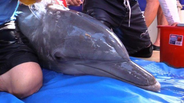 Wild dolphin's immune systems are failing