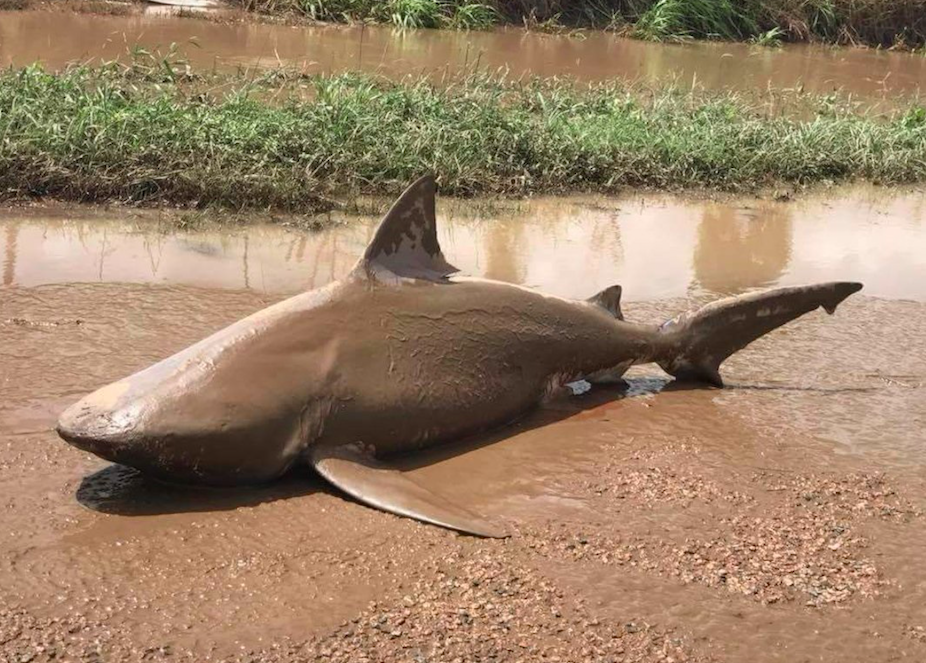 Flood lurkers: A bull shark washed up in Cyclone Debbie's aftermath in Ayr earlier this week. Photo: AAP