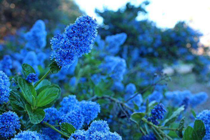 A blue-flowering Ceanothus at California Botanical Garden.
