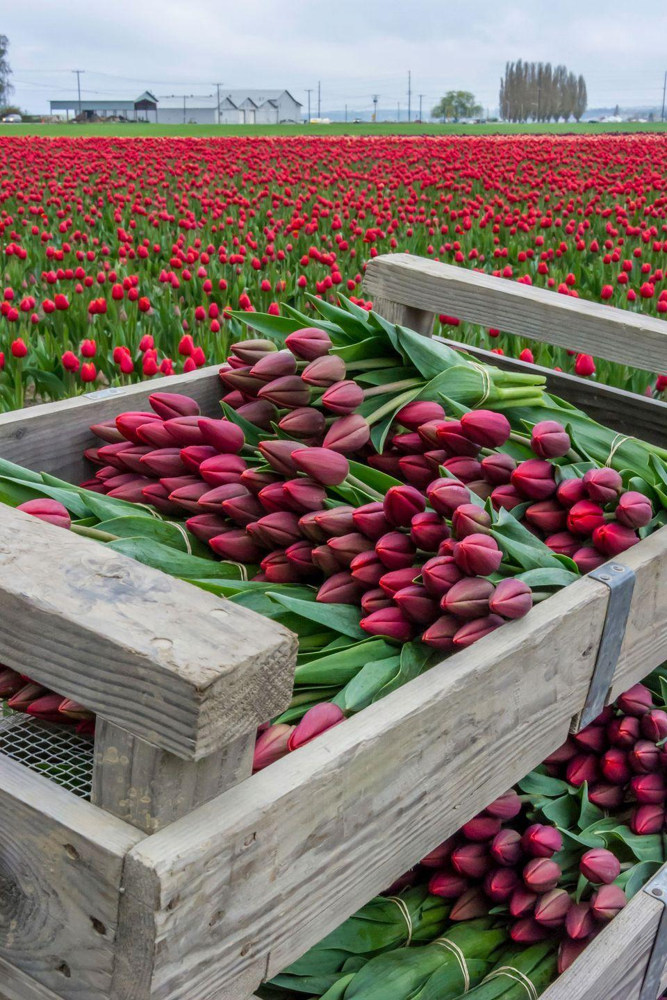 <p><strong>Where: </strong>Skagit Valley, Washington</p><p><strong>Why We Love It: </strong>You don't need to fly all the way to Holland to see some of the world's prettiest tulip fields, which are located just 60 miles north of Seattle.</p>