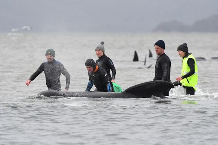 At least 380 pilot whales have died since their ill-fated pod was discovered beached on Tasmania's rugged western seaboard four days ago -- Australia's largest-ever mass stranding
