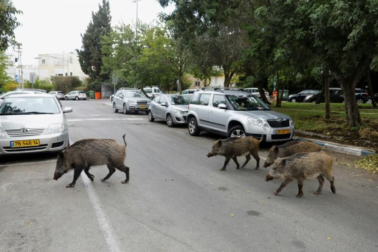 Dozens of wild boars have taken up residence in northern Israel's coastal city of Haifa since the city banned culling them