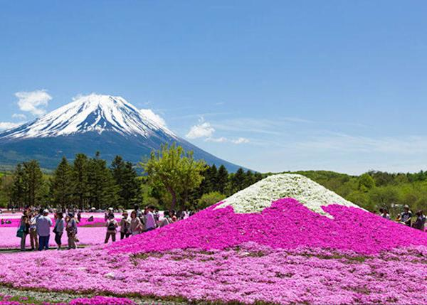Mount Fuji, the real one and the moss phlox version. 800,000 blossoms spread on a carpet of 2.4ha on the largest moss phlox field in the Tokyo area.