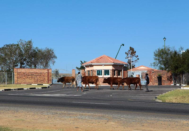 Herdsmen guide their cattle past the home of former South African president Nelson Mandela, in the village of Qunu in Eastern Cape province, on June 12, 2013
