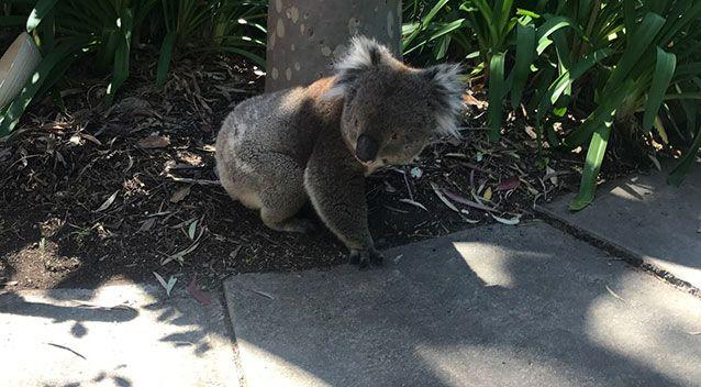The koala made a very timely appearance at an open house on Saturday. Source: Supplied
