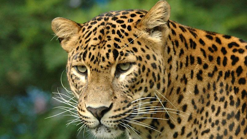 Villagers in UP's Moradabad Beat Leopard to Death