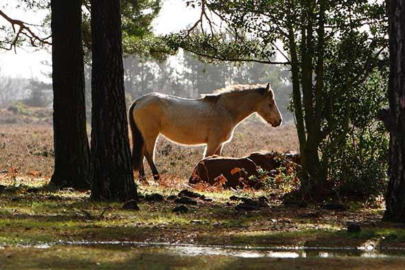 More than 50 New Forest ponies killed by poisonous acorns