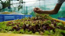 Founder of SG Venus Flytrap Darren Ng uses tweezers to feed a dead fly to a Venus flytrap at a greenhouse in Singapore