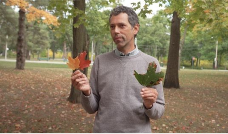 Source: Marta Czurylowicz. Eric Davies holds leaves from a sugar maple and one from the European Norway maple in Toronto's High Park.