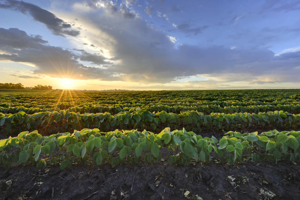 Minnesota soybean field during early morning sunrise