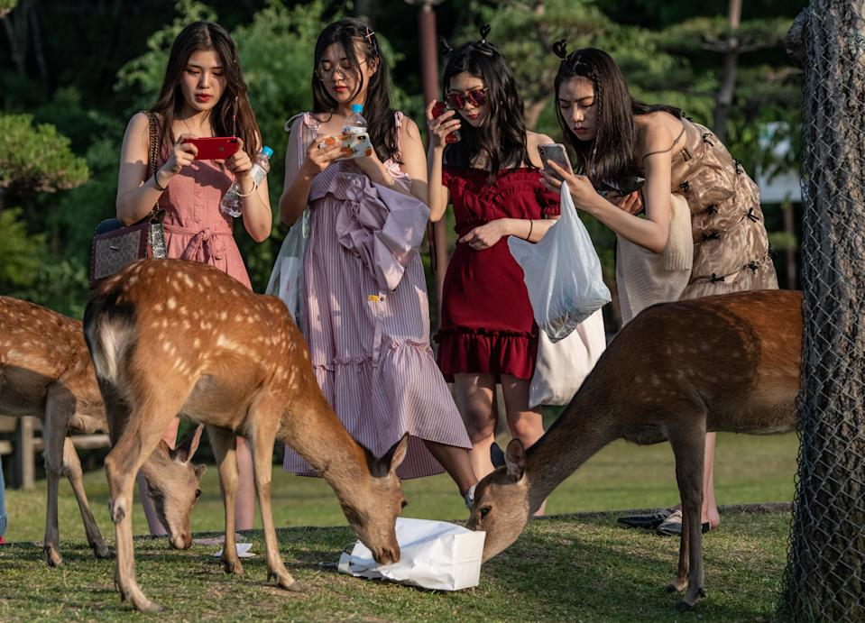 NARA, JAPAN - JUNE 06: Tourists take photographs as wild sika deer eat a bag on June 6, 2019 in Nara, Japan. Nara's free-roaming deer have become a huge attraction for tourists. However, an autopsy on a deer that was recently found dead near one of the city's famous temples discovered 3.2kg of plastic in its stomach and caused concern at the effect of tourism as Japan struggles to cope with a huge increase in domestic and international tourists. Alongside a growing Japanese tendency to holiday domestically, a record 31 million people visited the country in 2018 up 8.7 percent from the previous year, with many people now worrying about the environmental impact caused by such large visitor numbers. (Photo by Carl Court/Getty Images)