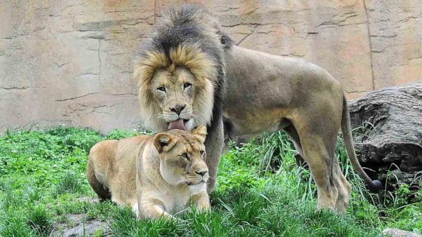 PHOTO: Isis and Zenda, pictured in this undated photo, arrived to the Brookfield Zoo in 2008 and officials say the lions were very close with each other and could often be seen grooming each other or sleeping together with their paws on each other. (Chicago Zoological Society)