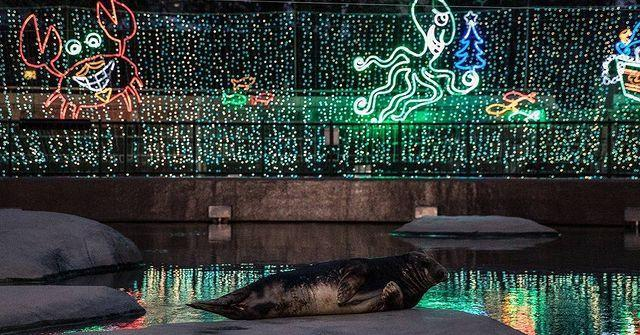<p>At Chicago's Lincoln Park Zoo, even the seals enjoy the annual Zoo Lights exhibit.</p>
