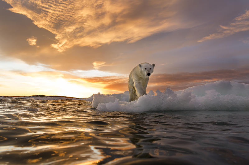 Canada, Nunavut Territory, Repulse Bay, Polar Bear (Ursus maritimus) stands on melting sea ice at sunset near Harbour Islands. Photo: Getty