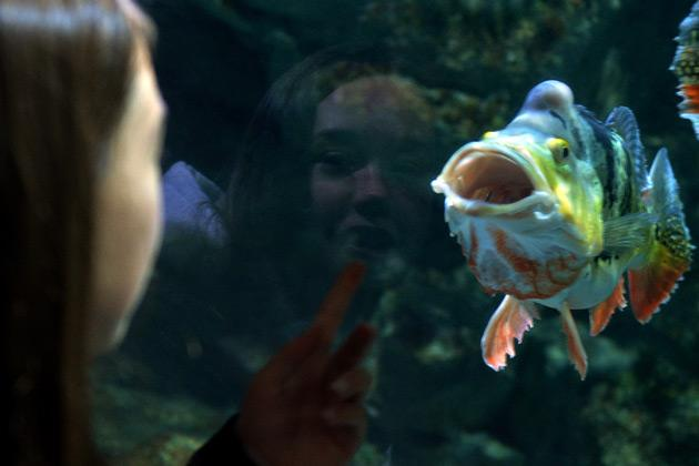 "A young girl is reflected in the glass as she views a Spot-Eye Cichlid fish at the Beijing Aquarium on January 21, 2013. The aquarium, the largest in China and shaped like a huge conch shell, houses more than 1,000 marine species and freshwater fish, was named by state media a ""Beijing civilized tourist scenic spot"". AFP PHOTO / Mark RALSTON"