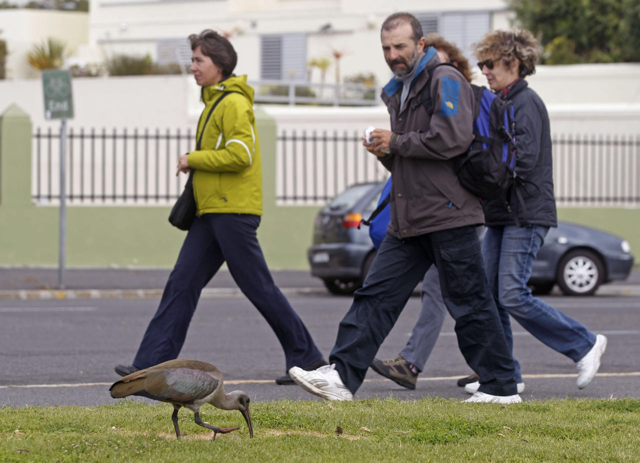 In this photo taken Monday, Sept. 16, 2013 a Hadeda Ibis bird walks near to pedestrians, in Cape Town, South Africa. Pest, charming oddity or just background noise, the Hadeda ibis is a feathered phenomenon in suburban South Africa. Sometimes it swipes dog food meant for pets, splatters parked cars and driveways with droppings and yanks residents from sleep with jarring squawks at first light. (AP Photo/Schalk van Zuydam)
