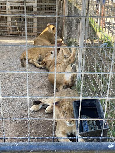 A group of ligers, half tigers and half lions, at the Greater Wynnewood Exotic Animal Park.