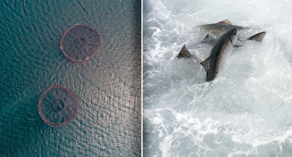 Salmon farms (left) and salmon (right) pictured.
