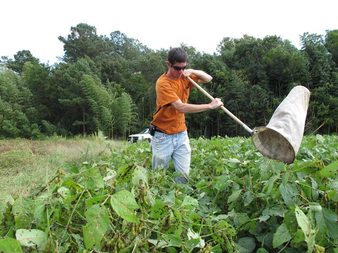 """In this Sept. 30, 2011 photo, Clemson University doctoral student Nick Seiter sweeps for """"kudzu bugs"""" at a test plot in Blackville, S.C. Seiter is studying the invasive Asian bug, which is wreaking havoc on soybean crops. (AP Photo/Allen Breed)"""