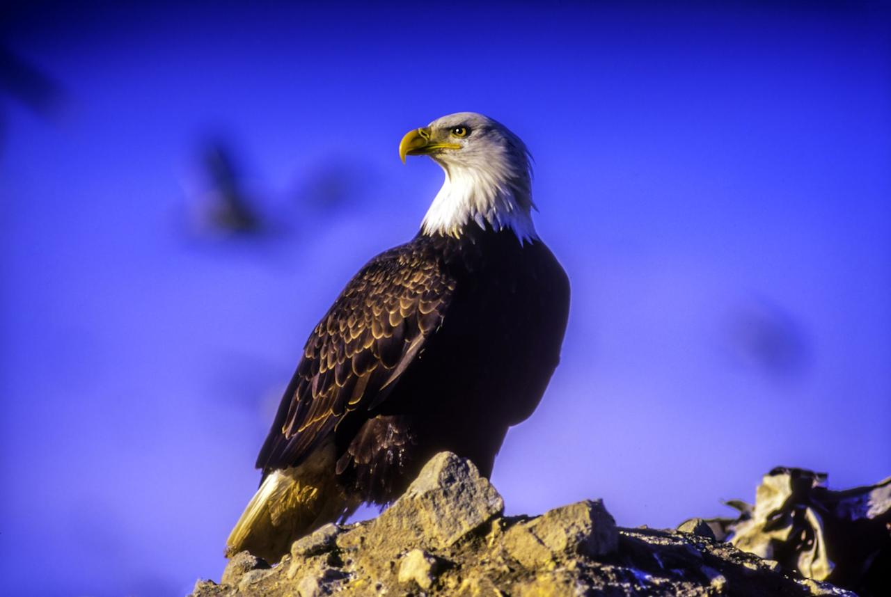 """<p>The Endangered Species Act went into effect in 1973 to protect animals who were categorized as endangered or threatened. Under the Act, the Fish and Wildlife Service (FWS) and the National Marine Fisheries Service (NMFS) can prevent people from damaging the species' habitats and hunting the species. The Act also outlined plans for recovery that were meant to be executed at the state level in order to prevent further population decline.</p><p>Despite being on of the most successful acts ever enacted by Congress, the Trump Administration has begun rolling back some of the Act's protections. The <em><a href=""""https://www.nytimes.com/2019/08/12/climate/endangered-species-act-changes.html"""" target=""""_blank"""">New York Times</a></em><a href=""""https://www.nytimes.com/2019/08/12/climate/endangered-species-act-changes.html"""" target=""""_blank""""></a> reports that the loosened rules will """"make it easier to remove a species from the endangered list and weaken protections for threatened species."""" Revisions to the Act will also make it harder to accurately measure the effects of climate change on these species. </p><p>Over the years, the Act has saved endangered animals—and plants—such as the <a href=""""https://www.allaboutbirds.org/guide/Bald_Eagle/overview"""" target=""""_blank"""">bald eagle</a> and the <a href=""""https://plantselect.org/plantstories/a-conservation-success-story-tennessee-purple-coneflower/"""" target=""""_blank"""">Tennessee purple coneflower</a>. Here are just 8 (of the more than 200) animals and plants that rely on the Endangered Species Act for their survival.</p>"""