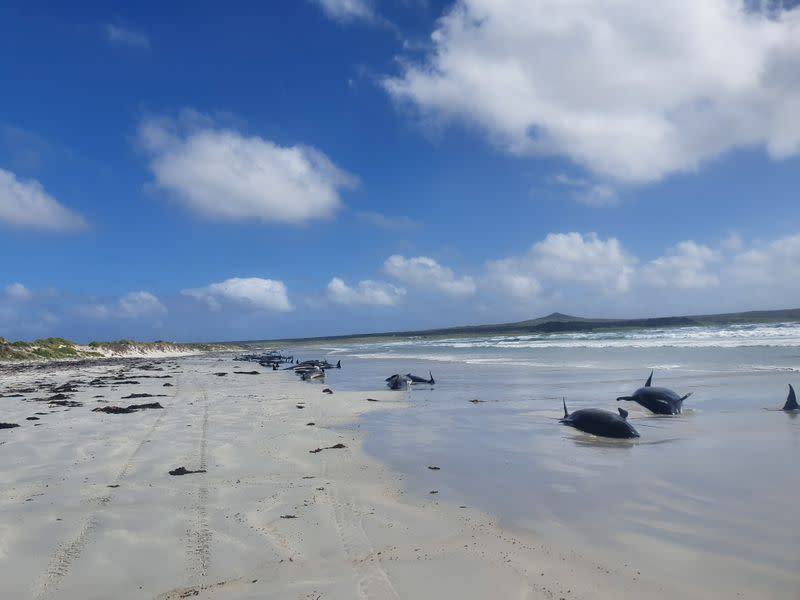 Pilot whales are seen stranded on the beach in Chatham Islands