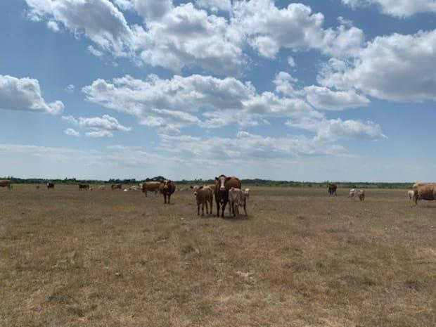 Kirk Kiesman's cattle are shown in a parched pasture near Ashern, about 170 kilometres northwest of Winnipeg. He and many others are considering selling off more of their stock than usual due to drought-driven pressures on hay and other feed crops. (Submitted by Kirk Kiesman - image credit)