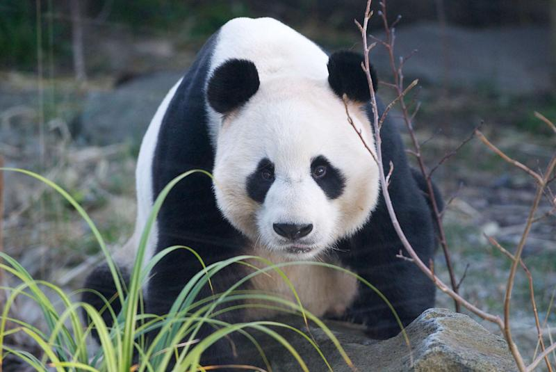 Yang Guang, the male panda, looks at the camera at the Edinburgh zoo (Rex)
