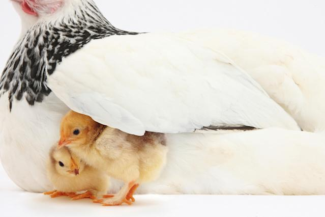 <p>Two yellow chicks under wing of mother hen. (Warren Photographic/Mercury Press) </p>