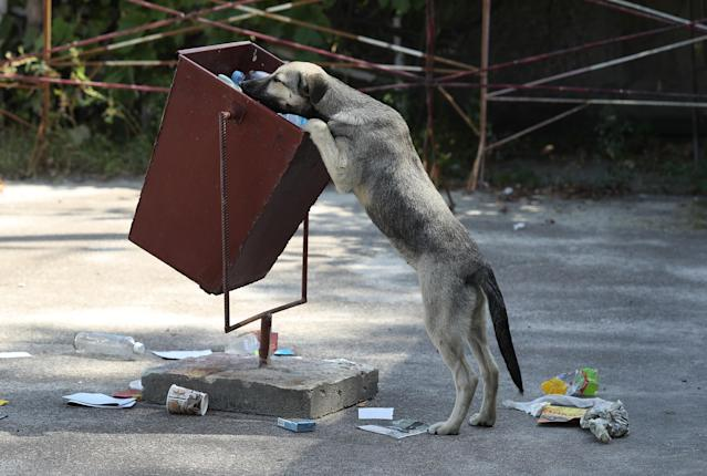 <p>A tagged stray dog sniffs for food in a trash can outside the workers' cafeteria inside the exclusion zone at the Chernobyl nuclear power plant on Aug. 18, 2017, near Chernobyl, Ukraine. (Photo: Sean Gallup/Getty Images) </p>