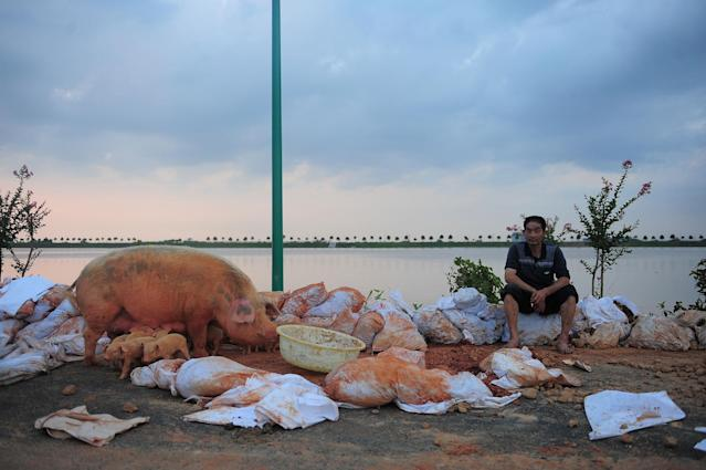 <p>A man sits next to the pigs he rescued from the flood in Tuanshanhu village near Changsha, Hunan province, China, July 2, 2017. (Photo: Stringer/Reuters) </p>