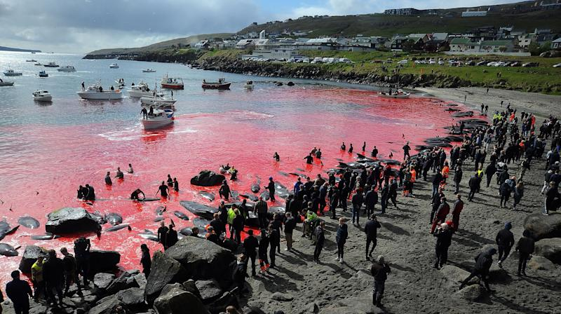 Annual Faroe Islands Whale Slaughter Leaves Scenic Waters Blood Red