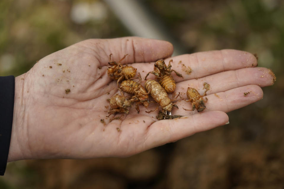 University of Maryland entomologist Paula Shrewsbury displays a handful of cicada nymphs found in a shovel of dirt in a suburban backyard in Columbia, Md., Tuesday, April 13, 2021. This is not an invasion. The cicadas have been here the entire time, quietly feeding off tree roots underground, not asleep, just moving slowly waiting for their body clocks tell them it is time to come out and breed. They've been in America for millions of years, far longer than people. (AP Photo/Carolyn Kaster)