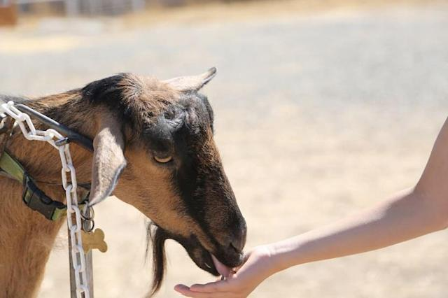 <p>There's all kinds of exotic and domestic farm animals around, including three sizes of horses, mini donkeys, mini Zebu steer, goats, bunnies, guinea pigs, cats, dogs, chinchillas, parrots, chicken, sheep and mini pigs. (Airbnb) </p>