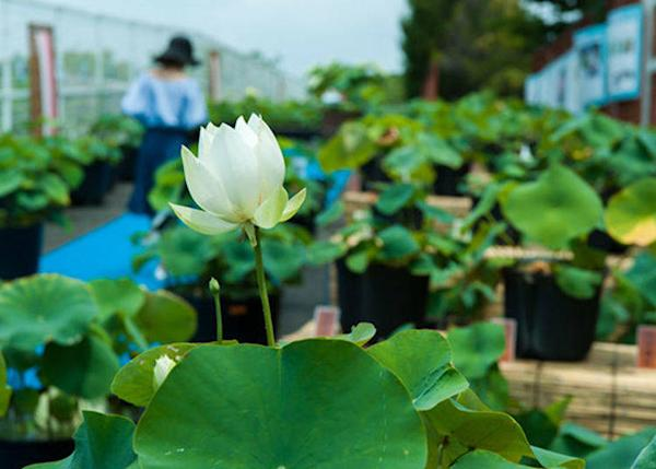 ▲There was also an exhibition of approximately 200 varieties of just lotus plants. I didn't even know there were so many kinds! Yet another surprise!
