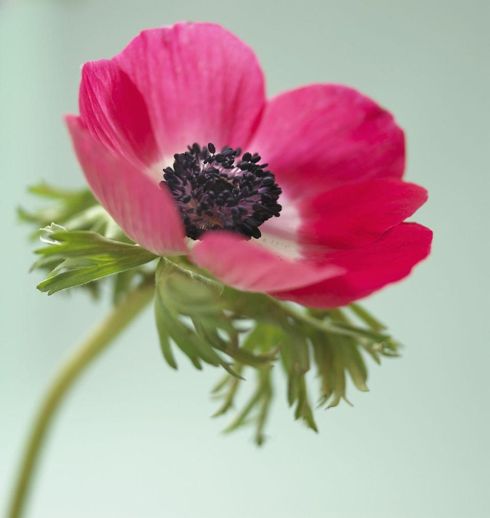 """<p>While there are many varieties of anemone out there, this type can most often be spotted thanks to their wide black centers, which provide striking contrast to red, purple, and white petals. </p><p><strong>Bloom season: </strong>Fall and spring </p><p><a class=""""link rapid-noclick-resp"""" href=""""https://go.redirectingat.com?id=74968X1596630&url=https%3A%2F%2Fwww.homedepot.com%2Fp%2FVan-Zyverden-Wind-Flowers-Anemones-Meron-Bordeaux-Bulbs-Set-of-25-834051%2F301135348&sref=https%3A%2F%2Fwww.countryliving.com%2Fgardening%2Fg36596951%2Fbeautiful-flower-images%2F"""" rel=""""nofollow noopener"""" target=""""_blank"""" data-ylk=""""slk:SHOP ANEMONES"""">SHOP ANEMONES </a></p>"""