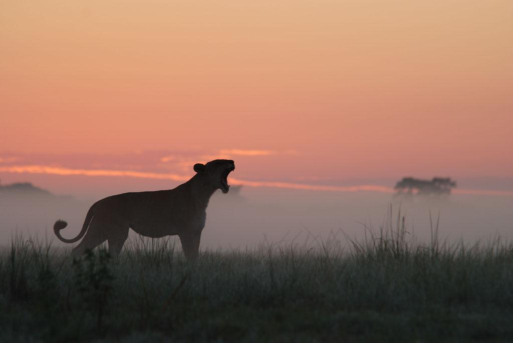 Busanga Swamps, Zambia: MW of Martyr (lioness) yawning at sunset.