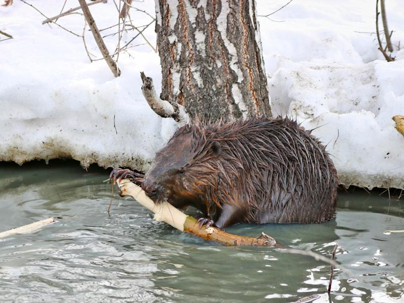 Beavers in Alaska are moving into new territories as the climate warms up due to human activity: Getty