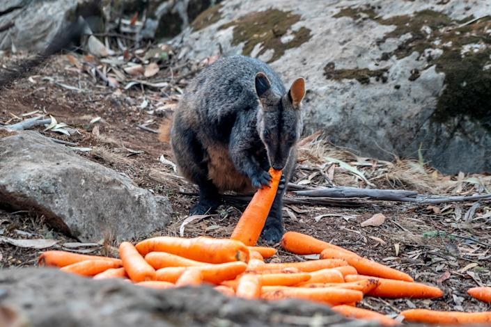 Wallaby eats a carrot NSW's DPIE workers air-dropped them around national parks