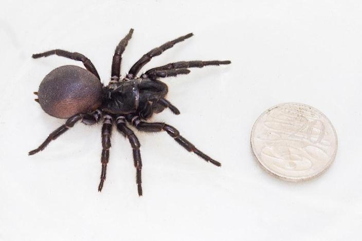 Australian scientists say this could be a new species of the deadly funnel-web spider (AFP Photo/Stuart Hay)