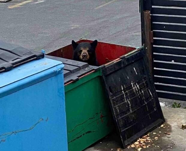 A mother bear and her two cubs, who got into dumpsters behind the Copperhouse restaurant in Yellowknife, have been successfully relocated well outside of the city and Behchokǫ̀, say wildlife officials.   (Submitted by Mike Westwick - image credit)