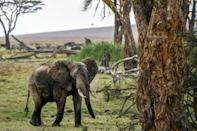 The numbers of African savanna elephants have plunged by at least 60 percent during the last half-century, according to the International Union for Conservation of Nature