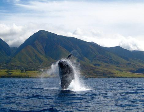 Whale off the shores of Maui. (Photo courtesy of flickr.com/photos/buckaroobay.)